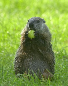 Ground_Hog